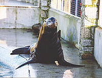 Rocky, a Californian sea lion