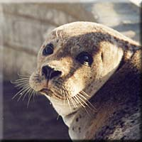 Sally, a resident seal