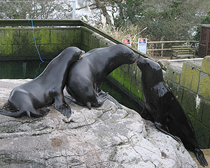 California and Patagonian Sea Lions