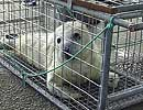 Skittles waiting to be transported from heliport at Penzance to the National Seal Sanctuary on 13th September 2008
