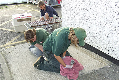 The Animal Care Team checking Skittles' temperature before being transferred to the National Seal Sanctuary from the heliport at Penzance on 13th September 2008