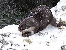 One of the otters