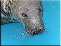 Stevie, a rescued grey seal