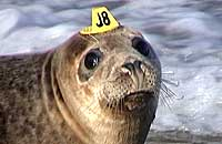 Photo of Sting (wearing hat tag ID J8) was taken on 14th of June 2006 by Sue Sayer of the Cornwall Seal Group (www.cornwallsealgroup.co.uk)