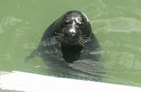 Wey, rescued seal pup - photo was taken on 23/09/2005 by Joyce Williams