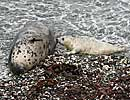 A healthy 4 day old seal pup suckling from it's mum