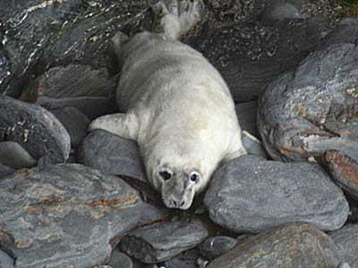 A seal pup in the wild