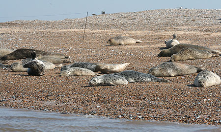 Seal Colony at Blakeney Point