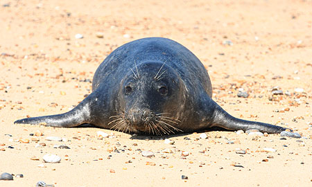 Juvenile Grey Seal on beach at Winterton Haul Out