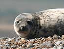 Blakeney Point Seal Colony