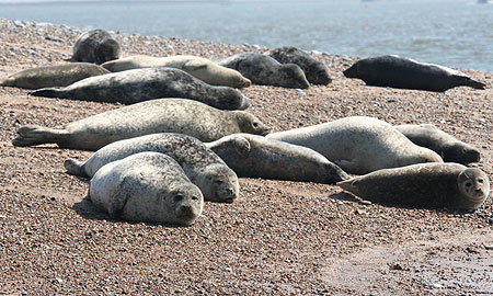 Common Seals on beach at Blakeney Point