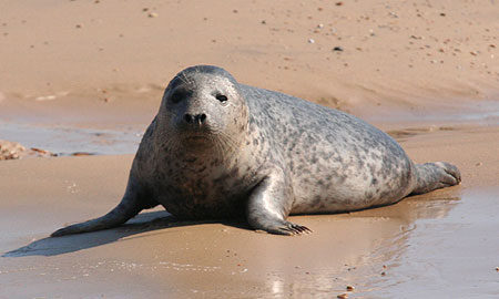 Juvenile Grey Seal on beach at Blakeney Point