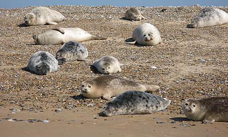 Mixture of Common and Grey Seals on beach at Blakeney Point